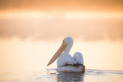 Swim Buddy (gseloff) Tags: americanwhitepelican bird paddling nature wildlife animal water sunrise bayou horsepenbayou pasadena texas kayak gseloff
