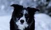 Enjoy the snow (Soul_Sammy) Tags: dezember2017 winter 85mm canon 100d bordercollie hund dog dogs sheepdog weis schwarz bi purebreed working arbeitslinie nature eye eyes augenblick