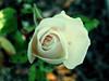 IMG_0070.jpg (xposed59405) Tags: f40 iso80 outdoors rose 160 flower dof vibrant