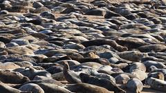 M2174279 E-M1ii 300mm iso320 f11 1_250s SingleAF (Mel Stephens) Tags: 20180217 201802 2018 q1 16x9 wide widescreen uk scotland aberdeenshire olympus mzuiko mft microfourthirds m43 300mm pro omd em1ii ii mirrorless newburgh river ythan beach animal animals nature wildlife seal seals coast coastal best