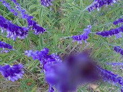 DSC02081 (classroomcamera) Tags: school campus closeup purple flower flowers texture green violet tops smell scent