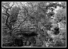 Squiggley Tree Fuji Neopan Acros 100 (veggiesosage) Tags: blackandwhite newsteadabbey nottinghamshire gx20 garden dxofilmpack