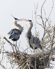 Exchanging Pleasantries (pandatub) Tags: ebparks ebparksok bird birds heron greatblueheron nest shadowcliffs