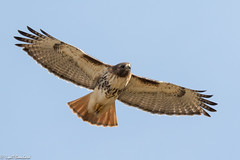 Red-tailed Hawk (Lyall Bouchard) Tags: bird grandpre novascotia redtailedhawk wolfville canada ca