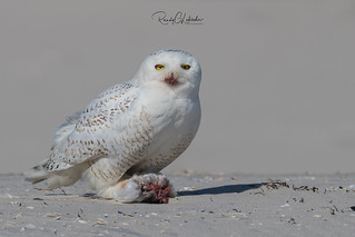 Snowy Owls of New Jersey | 2018 - 18