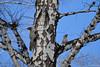 IMG_8439 (valery.eremeev) Tags: squirrel valeraeremeev novosibirsk canon 55250