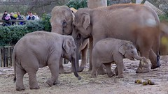 Walking with Elephants (TERRY KEARNEY) Tags: walkingwithelephants elephants animals family asianelephants chesterzoo chester cheshire canoneos1dmarkiv daylight day explore europe england flickr kearney landscape nature oneterry outdoor terrykearney wildlife 2018 mammal baby grass tree animal