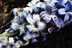 DSC_8841 Hyacinths (PeaTJay) Tags: nikond750 sigma reading lowerearley berkshire macro micro closeups gardens outdoors nature flora fauna plants flowers hyacinths