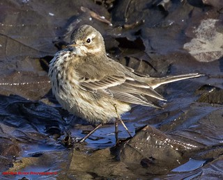 American Pipit. Anthus rubescens.