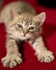 20160921_4525c (Fantasyfan.) Tags: fantasyfanin european kitten raitapaita