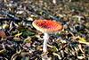 Gomba (GinA FotoArt) Tags: benyó gyöngyi fliegenpilz pilz amanita muscaria mushroom fungus natur gina fotoart gomba alaj falevél gallyak temészet mérges légyölő galóca