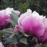 Peonies in dew and rain thumbnail
