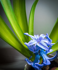 Hyacinth. (CWhatPhotos) Tags: photographs photograph pics pictures pic picture image images foto fotos photography artistic cwhatphotos that have which with contain em5 mk ii omd olympus esystem four thirds digital camera lens olympusem5mkii 43 mft micro macro flowers flower nature color colour colors colours vibrant samyang fisheye fish eye near 75mm wide angle closeup close up macrolens f35 blue purple heads head hyacinth shadows shadow light lidl lidlflowers green plant