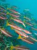 Lutjanus biguttatus (PacificKlaus) Tags: philippines scuba diving underwater ocean nature negrosisland dauin salayabeachhouses lutjanusbiguttatus snapper fish
