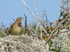 Meadow pipit (marksargeant57) Tags: pipit sky lichen bird finepix fujifilm scilly meadowpipit