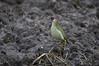 Green Woodpecker - Groene Specht - Picus viridis -3516 (Theo Locher) Tags: groenespecht greenwoodpecker grünspecht picvert picusviridis vogels birds vögel oiseaux netherlands nederland copyrighttheolocher