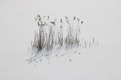 Dębica Reeds in Snow IMG_9602 b (david.neville2776) Tags: reeds snow