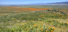 Lancaster Poppy Fields (Non Paratus) Tags: poppies mojave desert californiapoppy antelopevalley california eschscholziacalifornica flowers poppyreserve lancaster hills panorama sky mountains fields landscape