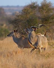 Proud couple (leendert3) Tags: leonmolenaar southafrica krugernationalpark wildlife nature mammals kudu ngc npc