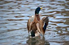 Standing up (JSB PHOTOGRAPHS) Tags: dsc167900001 male mallard duck nikon d1 18300mm altonbakerpark eugeneoregon pond water