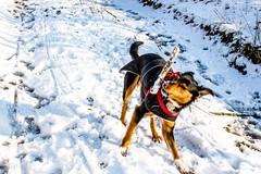 Kiri tosses her stick (allybeag) Tags: tallentirehill snow winter sunny snowdrifts kiri dog stick tossing catching playing lane