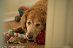 Cali with one of her toys (mylesfox) Tags: goldie golden retreiver toy