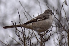 A perched bird (nilcommunis) Tags: cold nature winter fog tree trees wildbird wildanimal bird