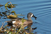 Blue-winged Teal (Anas discors) (Mary Keim) Tags: taxonomy:binomial=anasdiscors centralflorida marykeim orlandowetlandspark