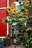 Sunflowers in a muggy DC summer, Columbia Heights, Washington DC. 2007 (brunofish) Tags: c copyrighted material brian fish aka brunosih cbrunofish
