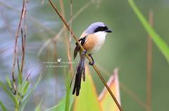 6F8A4697   Long Tailed Shrike (EricBronson's Photography) Tags: longtailedshrike bird nature