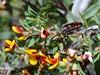 Jewel beetle (jeans_Photos) Tags: wambynnaturereserve jewelbeetle york
