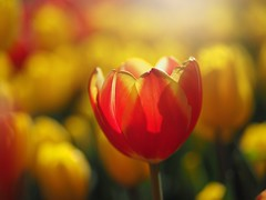 a subdued warm light (Kito K (fxkito2)) Tags: closeup japan dof flower nature bokeh lumix olympus tulip macro omd