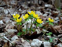 Winterlinge (ingrid eulenfan) Tags: blume pflanze plants winterlinge frühling 7dwf