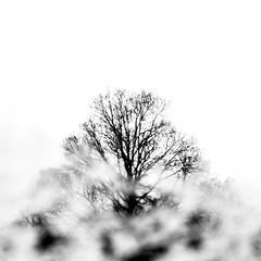 (wallnut65) Tags: fujifilmxt20 fujinonxf35mmf14r snow bw oak