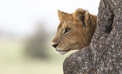 An Expectant Look ... (AnyMotion) Tags: lion löwe pantheraleo young jung tree baum liontree portrait porträt bokeh 2018 anymotion morukopjes serengeti tanzania tansania africa afrika travel reisen animal animals tiere nature natur wildlife 7d2 canoneos7dmarkii ngc npc