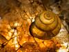 Tiny, golden Snailshell (H - D - O) Tags: snailshell golden warm leaf laub strukturen macromondays speckled flash blitz zwischenring extensiontube