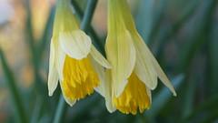 Jonquillle des bois (passionpapillon) Tags: macro fleur flower printemps bois sauvge jaune yellow passionpapillon 2018 jonquille smileonsaturday sunnyyellow