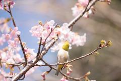 _DSC0791.jpg (plasticskin2001) Tags: mejiro sakura flower bird