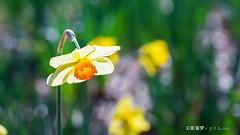 Daffodil 害羞的水仙 (幻影留梦) Tags: daffodil flower yellow white genus narcissus pseudonarcissus lent lily spring bloom gibbs garden georgia atlanta sony sel24105g zoom lens fe 24–105 f4 g oss