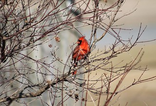 Hello Mr. Cardinal
