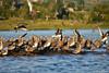 WCH_2853 (volatila) Tags: quellón xregion decimaregion décimaregión regionloslagos chiloé chiloe carreterapanamericana naturaleza naturelife nature travel viaje zarapito zarapitopicorecto bandada aves pájaros bird