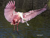 ROSEATE SPOONBILL F-750_115 (francesbrown266) Tags: coth5 roseatespoonbill florida longleggedwader francesbrown nikon nikond7200 merrittisland bird