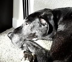 4.52.2018 B&W Life (kmmorgan1977) Tags: 52weeksfordogs 52wfd 52wfd18 kkzsapachevegasrose greatdane dogs 2018 blackandwhite bw