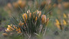 Spring Time.... (Piet photography) Tags: crocus spring flowers nature green yellow