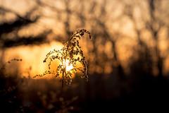 Daylight always ends (Nicholas Erwin) Tags: nature naturephotography golden goldenhour sunset sunlight sun sunny bokeh depthoffield plant outdoor outside evening silhouette nikon d610 nikkor 70200f4vr waterbury vermont vt unitedstatesofamerica usa fav10 fav25 fav50