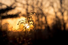 Daylight always ends (Nicholas Erwin) Tags: nature naturephotography golden goldenhour sunset sunlight sun sunny bokeh depthoffield plant outdoor outside evening silhouette nikon d610 nikkor 70200f4vr waterbury vermont vt unitedstatesofamerica usa fav10 fav25 fav50