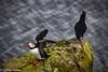 Iceland_Puffin_2 (Lothar Heller) Tags: lotharheller fauna iceland island islandia papageientaucher puffin vogel