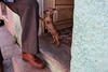 Matanzas, Cuba (jaumescar) Tags: matanzas cuba dog chihuahua animal pet proud shoe shoes small tiny brown leg owner street photo cute breed color puppy