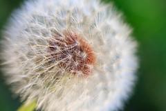 Dandelion (Candice, AKA Bessie Smith) Tags: closeup dandelion dandelionclock flower green macro nature plant