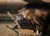 Look, I have found a stick ! (FocusPocus Photography) Tags: mönchsgeier monkvulture geier vulture cinereousvulture tier animal vogel bird aegypiusmonachus wildparadies tripsdrill